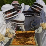 Beekeepers attending a hive