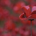 single red poppy for service of remembrance