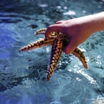 hand holding onto a starfish in the water at world museum aquarium